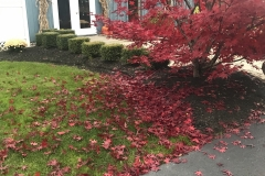 Japanese-Maple-in-Fall